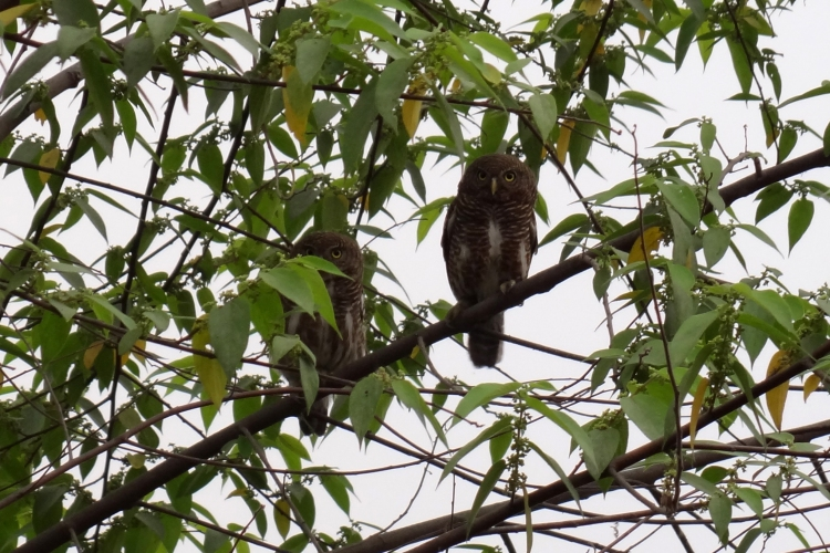 Asian Barred Owlets pair